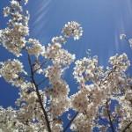 青空 と 桜