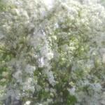 公園の 雪柳