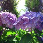 鮮やかな 紫陽花 (2) ☆