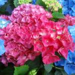 鮮やかな 紫陽花 (1) ☆