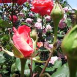 クレオパトラ と 薔薇