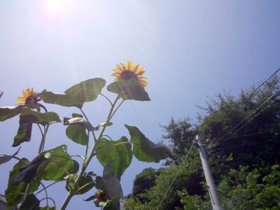 sunflower_l1
