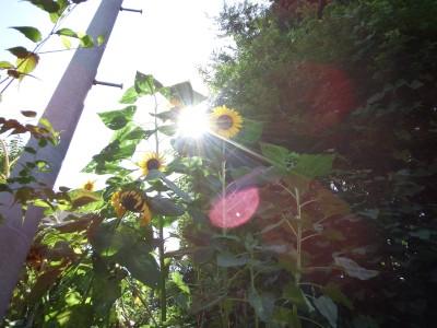sunflower_l2