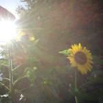 のっぽの 向日葵さん