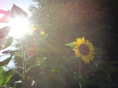 sunflower_l3