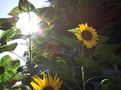sunflower_l4