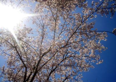 cherry-blossoms_2