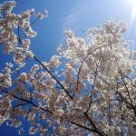桜 満開 ☆彡