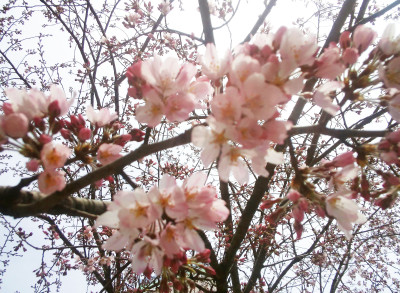 cherry-blossoms_5